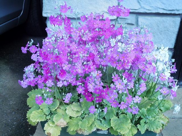 近頃見かけたお花たち