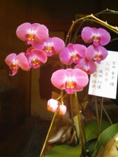 これはすごい 胡蝶蘭