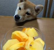 あんこちゃん柿