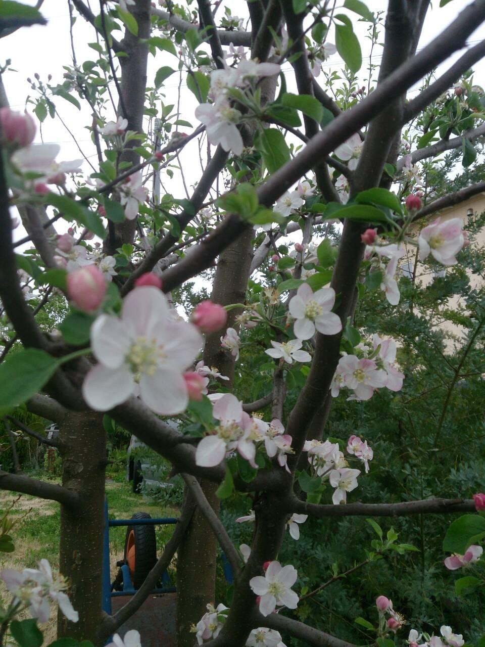 リンゴの木満開!