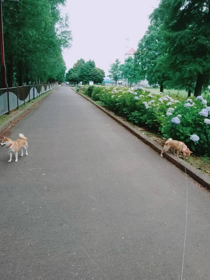 はなさき公園の紫陽花